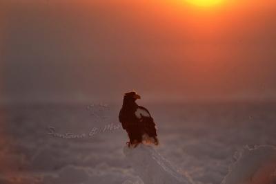 日の出のオオワシ。。。