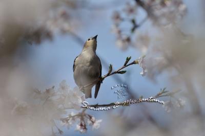 桜絡みのコムクドリ。。。