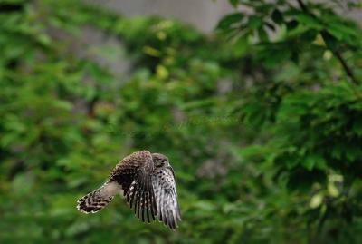 チョウゲンボウ幼鳥。。。