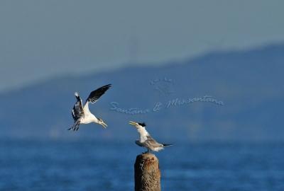 オオアジサシ幼鳥と成鳥