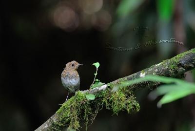 コマドリ幼鳥。。。