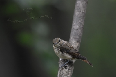 お山のキビタキ幼鳥。。。