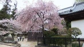 御文庫の桜2