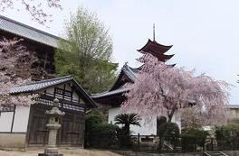 御文庫のしだれ桜と千畳閣と五重塔
