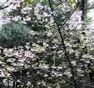 葉桜になっています
