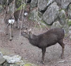 牛見たいな鹿
