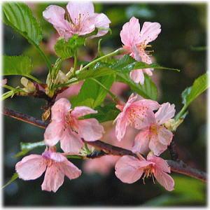 Vol.177 雅な平安時代の香りを再現 〜 世界らん展 河津桜