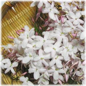 Vol.194 桜の木の上で羽衣ジャスミンが満開に 〜 ハーブオイル作り