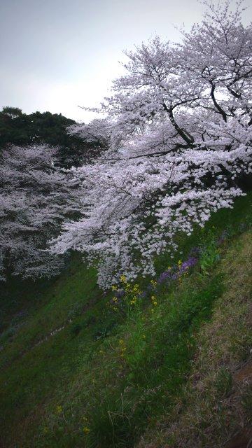 Vol.328 街角の風景 満開の桜 〜東京「北の丸公園」