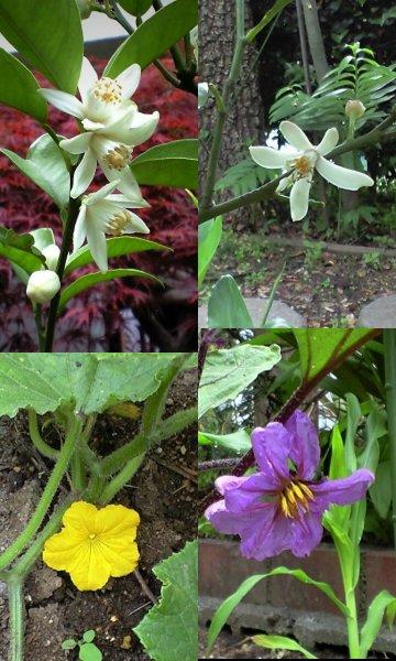 Vol.341 庭の風景 (夏野菜の花たち) 〜 大磯にて