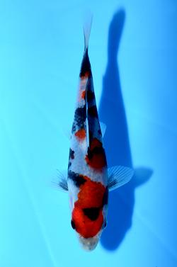 第35回錦鯉全国若鯉品評会 15部昭和三色の優勝
