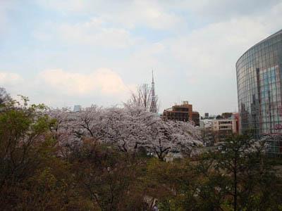 六本木 桜咲く