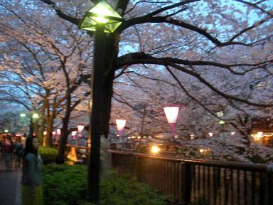 青葉台の夜桜