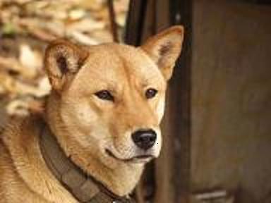 本物の「珍島犬」