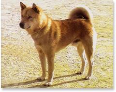 珍島犬(チンド犬)