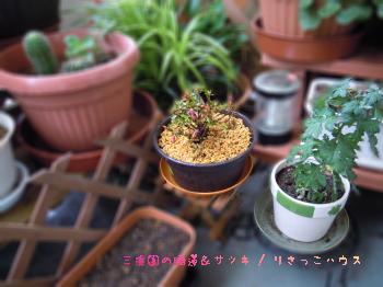 三渓園の睡蓮&サツキ6