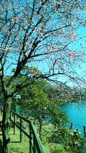 洗足池に咲く梅の花
