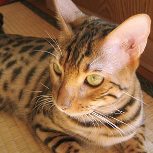 わんこ猫ゆきむら / ハイブリット猫