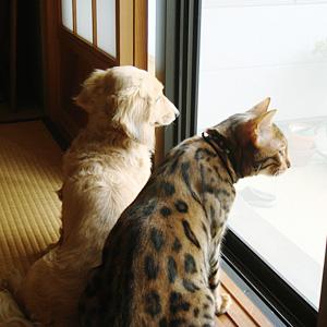 わんこ猫ベンガルゆきむら/大きさ
