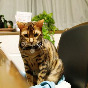 べんがる猫ゆきむら_迷子札