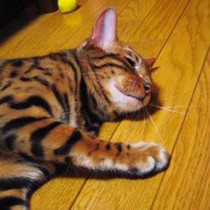 ベンガル猫ゆきむら 休憩中