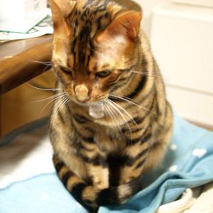 ベンガル猫ゆきむら 平面ぬこ
