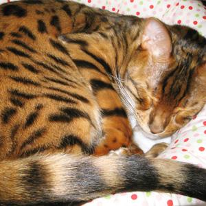ベンガル猫ゆきむら / ねこベット