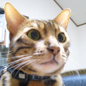 ベンガル猫ゆきむら /狙い