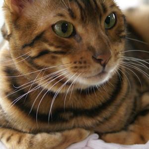 ベンガル猫ゆきむら / 洗濯物