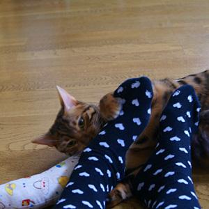 ベンガル猫ゆきむら / 足臭い