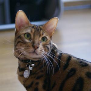 ベンガル猫ゆきむら /ここにいるよ