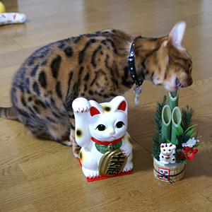 ベンガル猫ゆきむら / 年賀状撮影