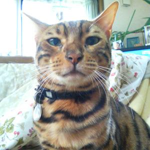 ベンガル猫ゆきむら / あくび