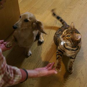 ベンガル猫ゆきむら / お手