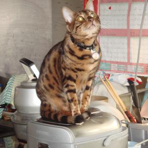ベンガル猫ゆきむら 火の用心