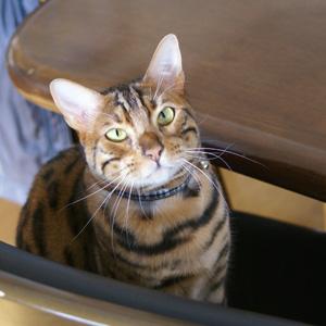 ベンガル猫ゆきむら / 明けましておめでsとうございます