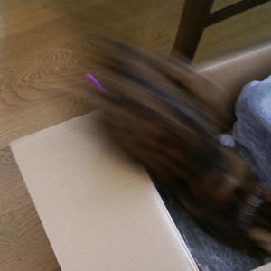 ベンガル猫ゆきむら / 箱マニア