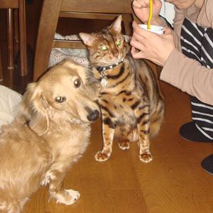 ベンガル猫ゆきむら 狙ってます