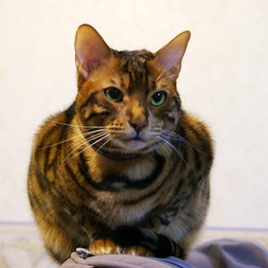 ベンガル猫ゆきむら ふわっふわ