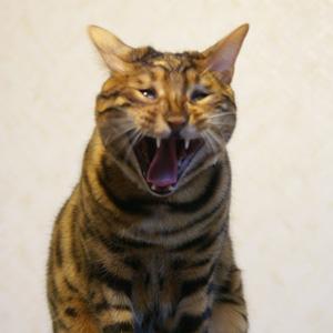 ベンガル猫ゆきむら お休み中