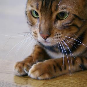 ベンガル猫ゆきむら / ヒゲ電波