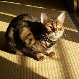 ベンガル猫ゆきむら 陽の当たる方へ