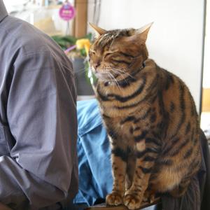 ベンガル猫ゆきむら / 待ってます