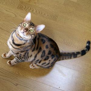 ベンガル猫ゆきむら / かわいい