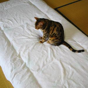 ベンガル猫ゆきむら / お手伝い