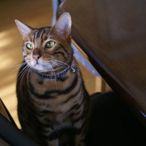 ベンガル猫ゆきむら / 待ち