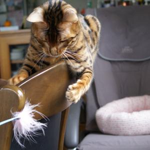 ベンガル猫ゆきむら 驚異的な集中力
