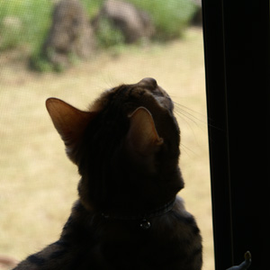ベンガル猫ゆきむら ハエ取り