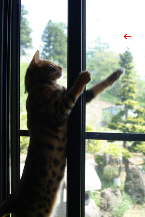 ベンガル猫ゆきむら リーチ!