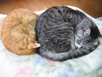 我が家の ちゃむ と えむ は丸くなって寄り添って寝ていました